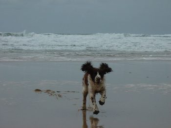 Dog walking on the beach at Hillside Cottage Padstow